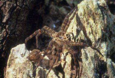 Wolf spider molt (Lycosidae)