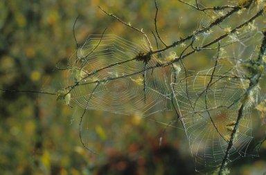 Two Webs of Orb-Weaving Spiders (Araneidae)