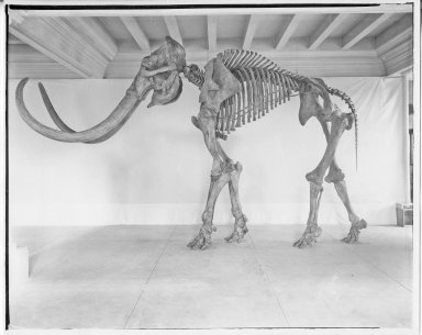 Left Side View of Imperial Mastodon