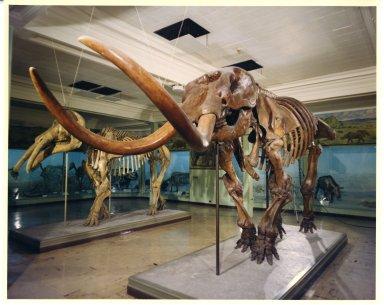 American Mastodon EPV.1496