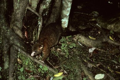 Ring-tailed Possum