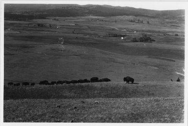 Bison herd on prairie