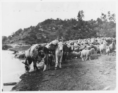 Pack burros and sheep