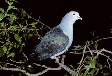 Elegant Imperial Pigeon