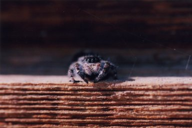 Close up of large spider on wood.