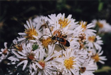 Close up of black and red beetle on white flowers.