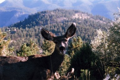 Close up of female deer, mountain in background.