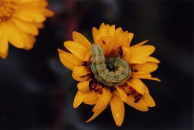Close up of green caterpillar on yellow flower