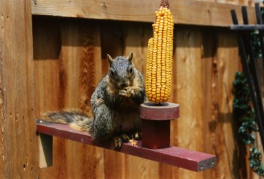 Close up of squirrel with corn cob and fence