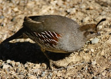 Close up of Female California Quail