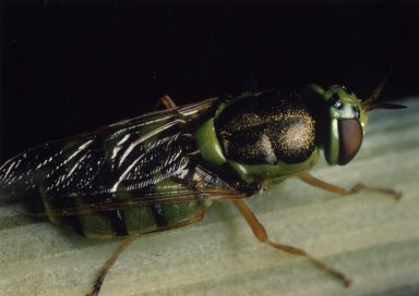 Close up of soldier fly