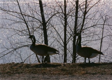 Close up of two Canadian geese in trees