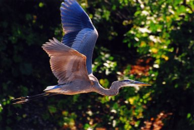 Close up of Great Blue heron in flight