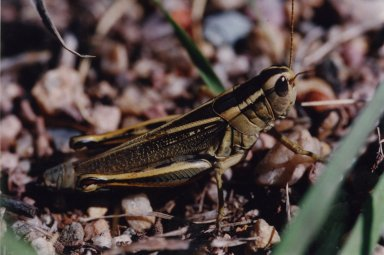 Close up of grasshopper