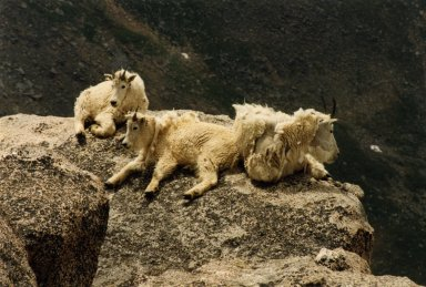 Image of mountain goat on rocks