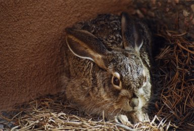Close up of brown rabbit
