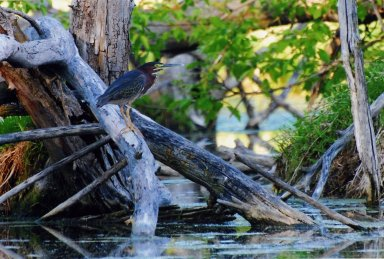 Image of rufescent tiger heron on log over water