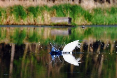Image of Great Egret or Great White Heron dunking head in water