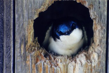 Close up of Tree Swallow in hole in wood.