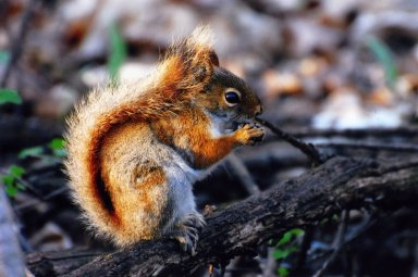 Close up of red squirrel