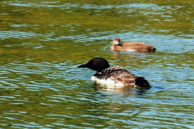 Close up of ducks in water
