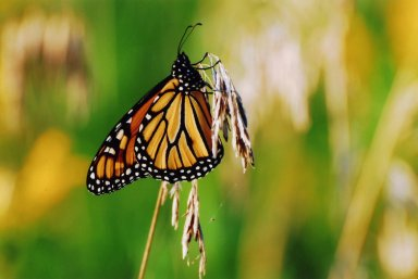 Close up of monarch butterfly on grass shaft