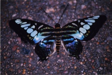 Close up of blue and black butterfly