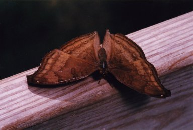 Close up of brown moth on wood