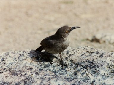 Close up of curve-billed thrasher on rock