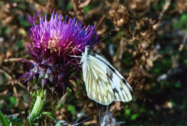 Close up of white butterfly on purple flower