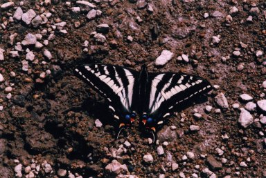 Close up of black and white butterfly on ground.