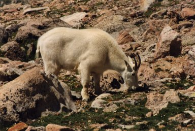 Close up of mountain goat grazing, on rocks.