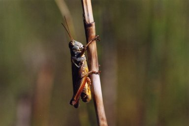Close up of grasshopper on stalk