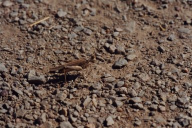 Close up of grasshopper on gravel