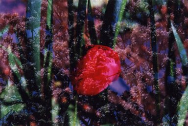 Double Exposure - Image of red tulip over white flowers on tree