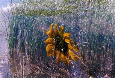 Double Exposure - Sunflower over reeds in water