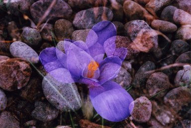 Souble Exposure- Purple flower over river rocks
