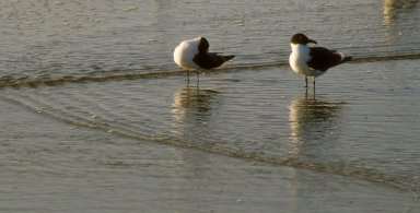 Two Bonaparte's Gulls