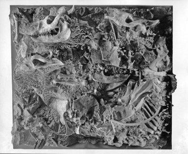 Trigonias Fossil Slab