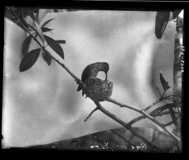 Female Broad-tailed Hummingbird at nest feeding young chicks.
