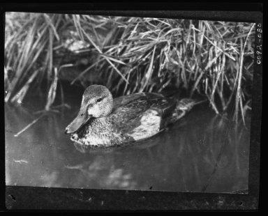 Swimming Duck.