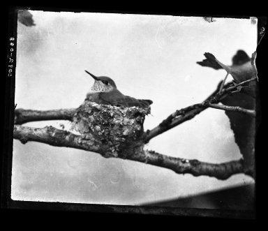 Female Hummingbird sitting on nest.