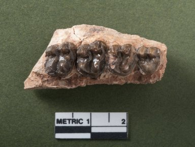 Hyracotherium mandible top view