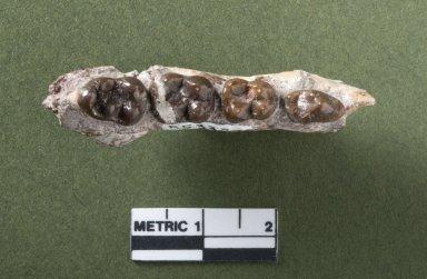 Bunophorus mandible top view