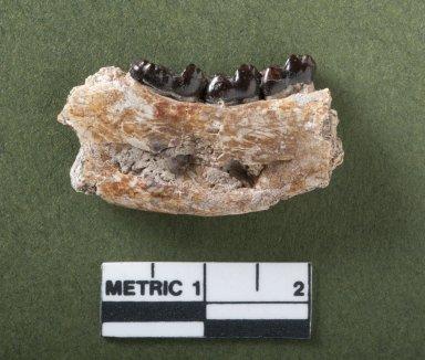 Notharctus mandible rotated view