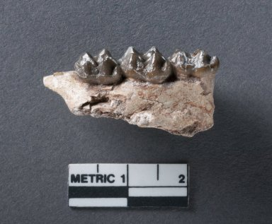 Hyracotherium mandible rotated view