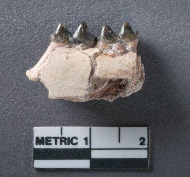 Selenaletes mandible rotated view