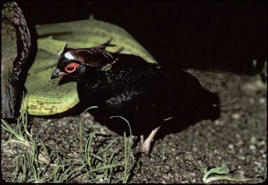Roulroul, also called the Crested Partridge