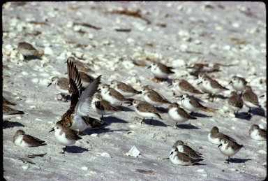 Sanderlings and Ruddy Turnstone