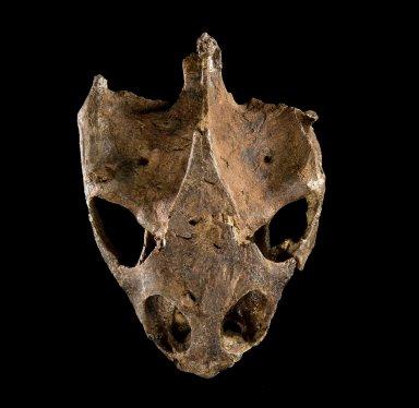 Fossil turtle skull